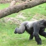 1600px-2007_apenheul_gorilla