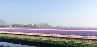 Tulip fields in the Netherlands blooming