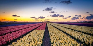 flowerfields holland tulips