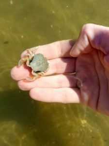 Dutch Beaches: a crab in a hand in Petten