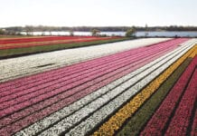 Photo-of-tulip-field-Netherlands-Holland