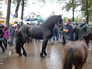 Friesian for sale!