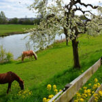 Betuwe landscape with cherry blossoms