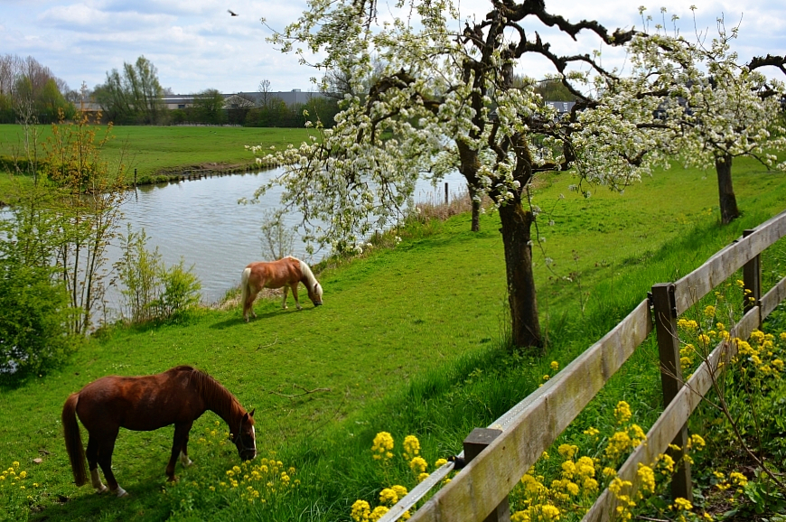 horses-in-an-orchard-under-blossoms-in-the-Netherlands