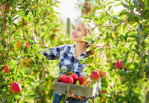 Blonde-girl-picking-red-apples-in-the-Netherlands-in-autumn