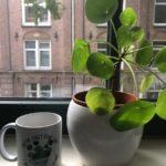 Chinese-money-plant