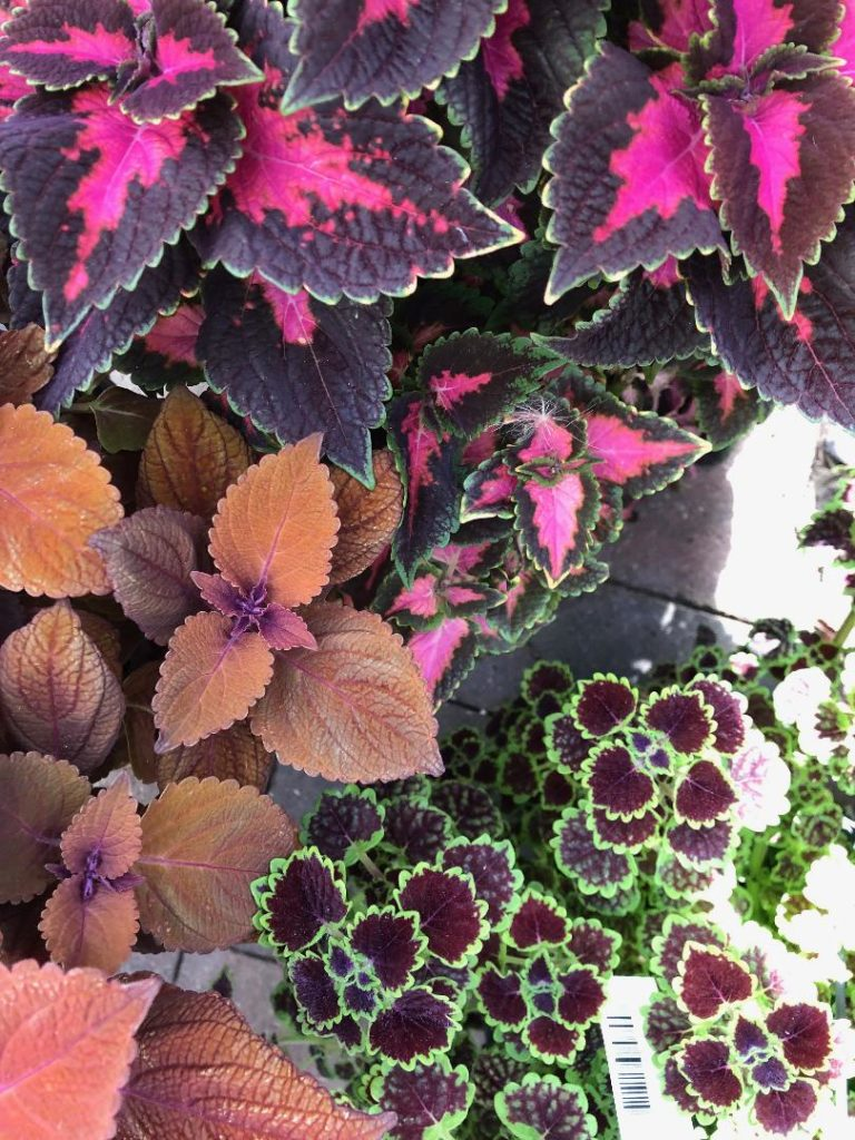 coleus-plants - house plants in the Netherlands