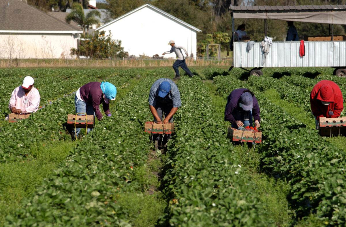 Romanian-maigrant-workers-working-on-a-fram-in-the-Netherlands