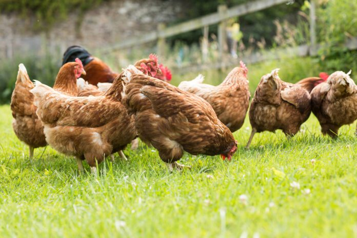 free-range-chickens-in-the-Netherlands