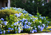 Growing-number-of-hydrangea-thefts-reported-as-plants-offer-cheap-high