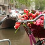 A basket of fresh ed tulips on a bike