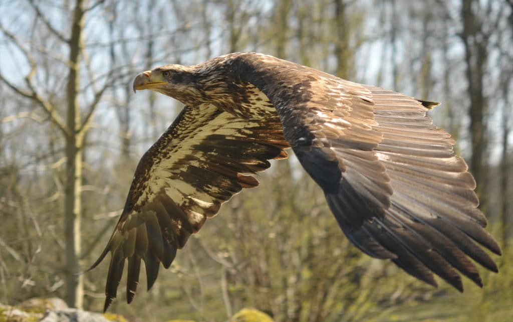 sea eagles in the Netherlands