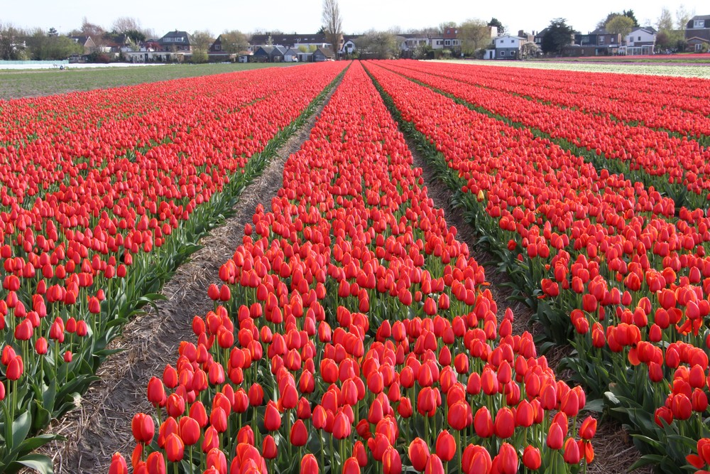 A guide to tulips season in holland dutchreview for What season are tulips
