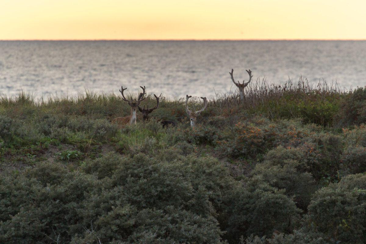 deer-in-the-dunes-of-Meijendel-The-Hague