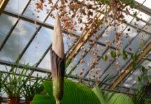 penis-plant-flowering-in-leiden