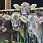 cows farming animals