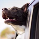 doggo car
