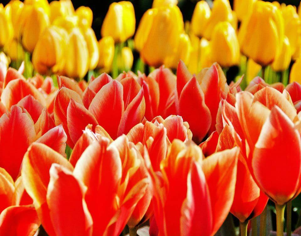 Tulip 1_920