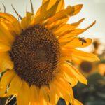 Sunflower-bee-pollinator-spring