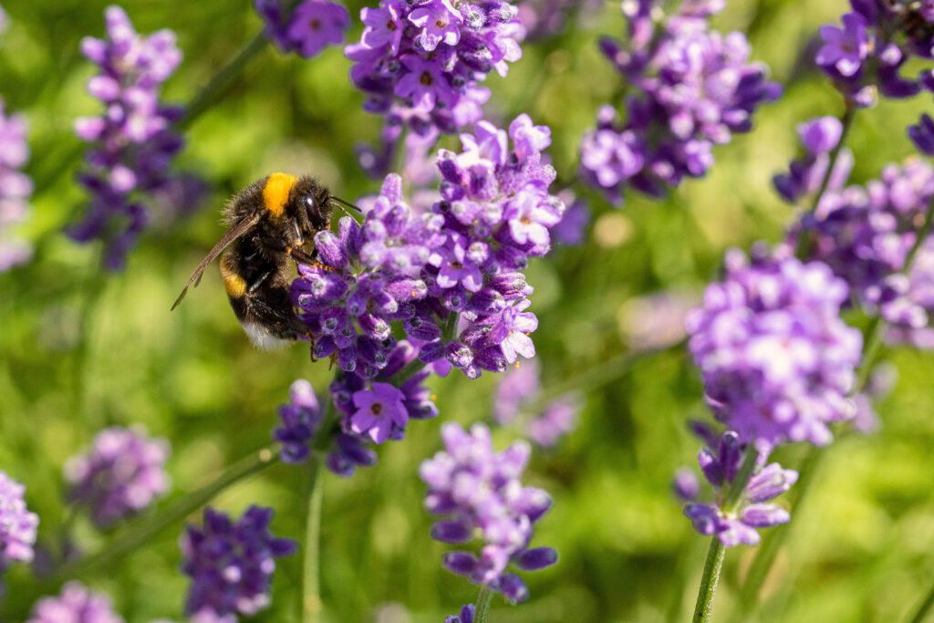 Photo-of-bee-on-lavender-plant