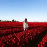 dutch-tulip-field