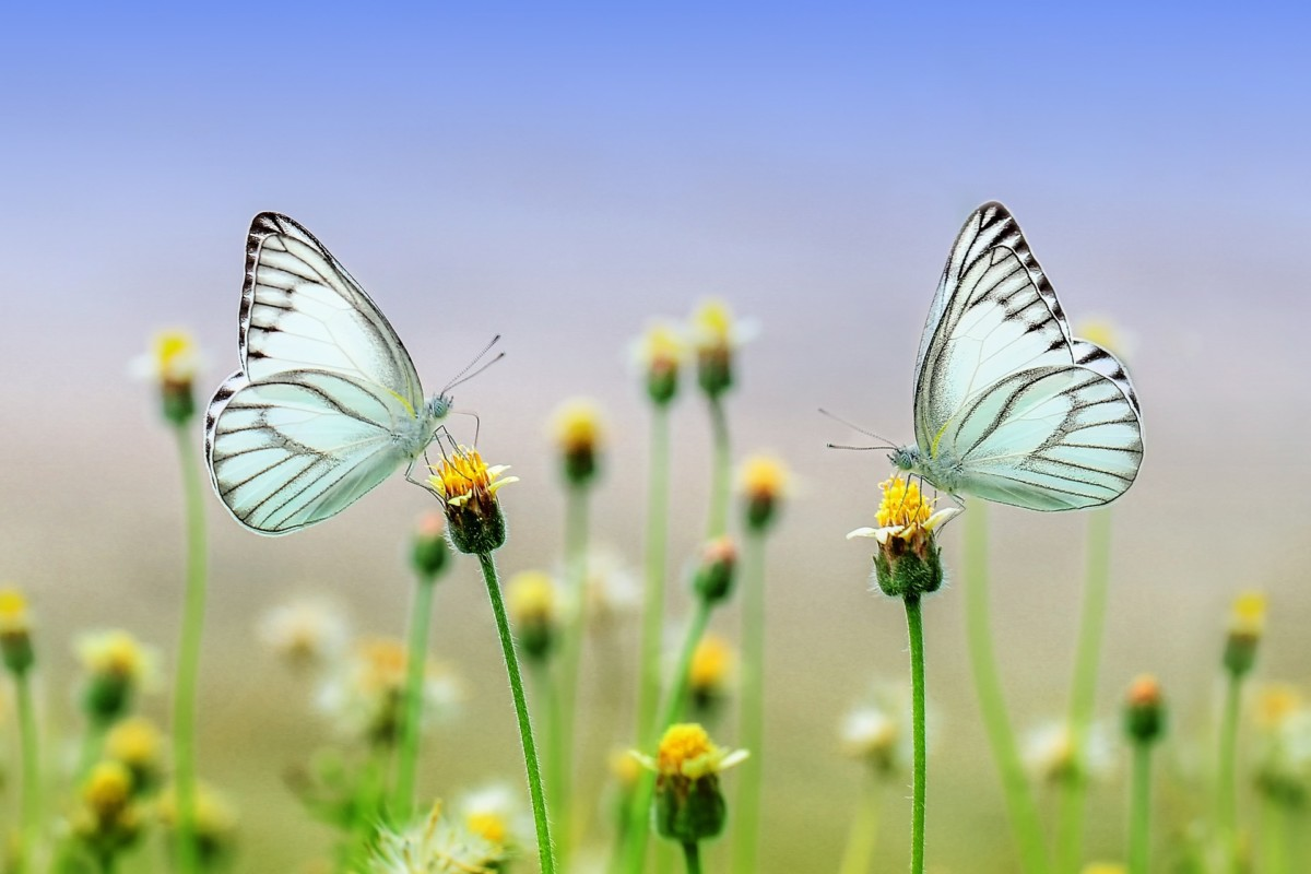 butterfly animal populations impacted agriculture