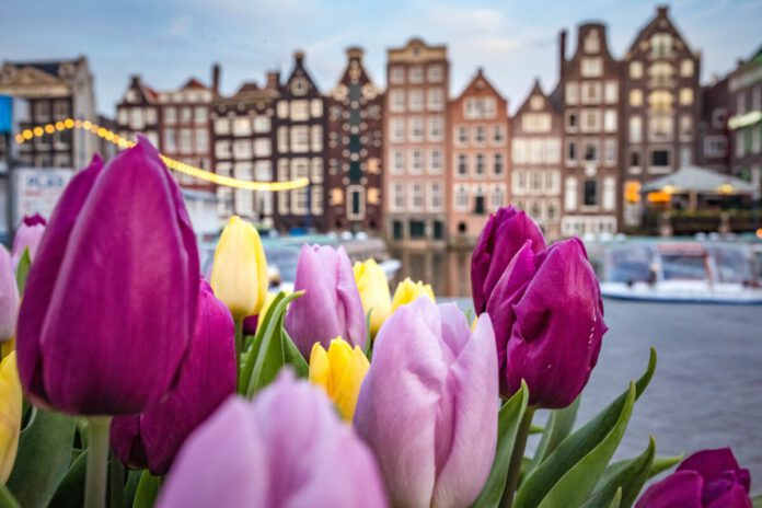 Tulips-in-front-of-houses-in-Amsterdam