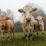 cows-801045_1280