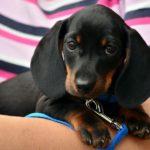 dachshund-1519374_1280