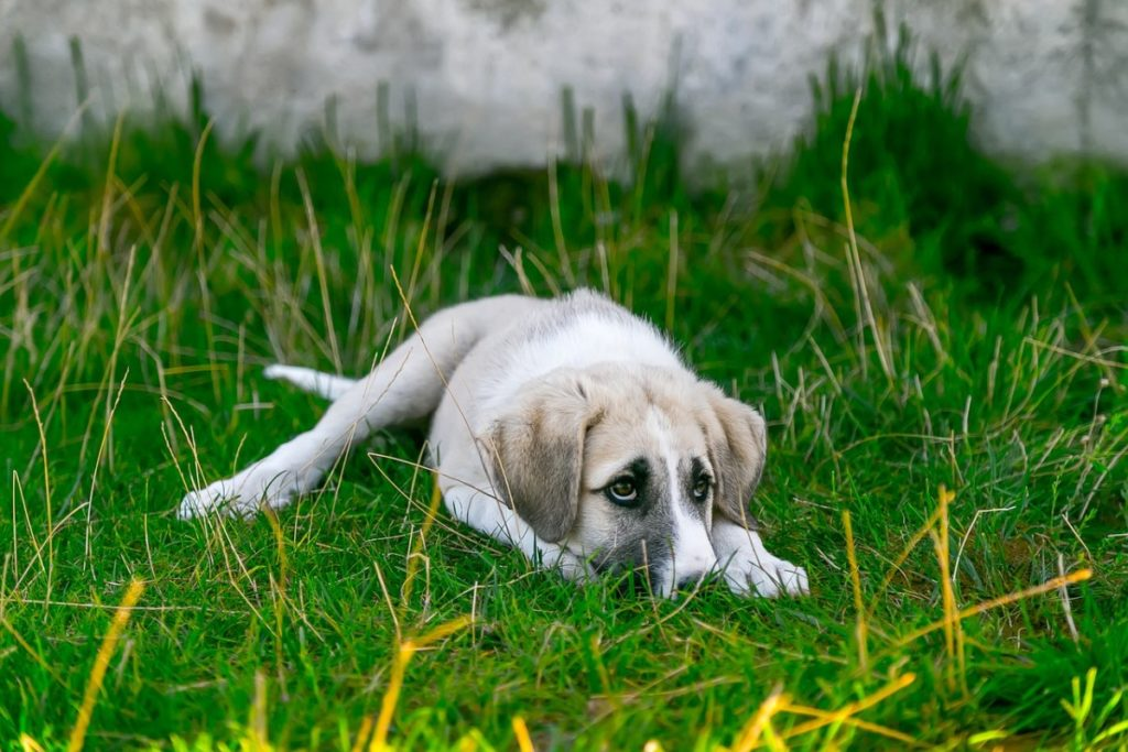 White puppy laying on grass