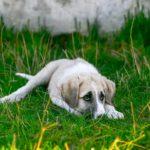 white-dog-puppy
