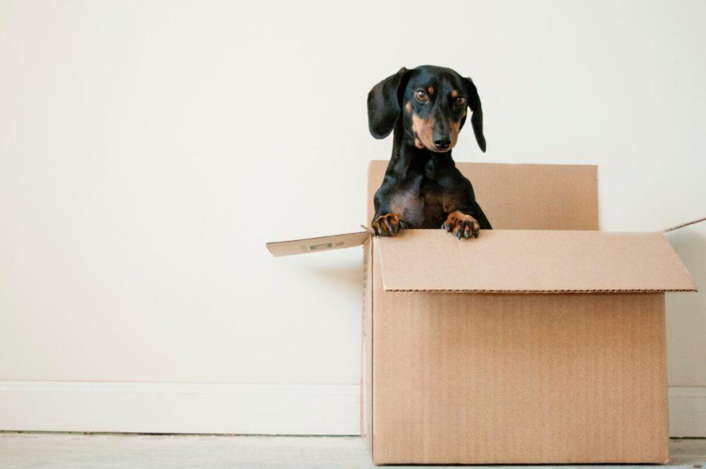 dog in a shipping box