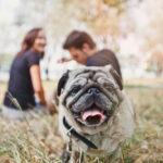 dog-pet-netherlands-pug