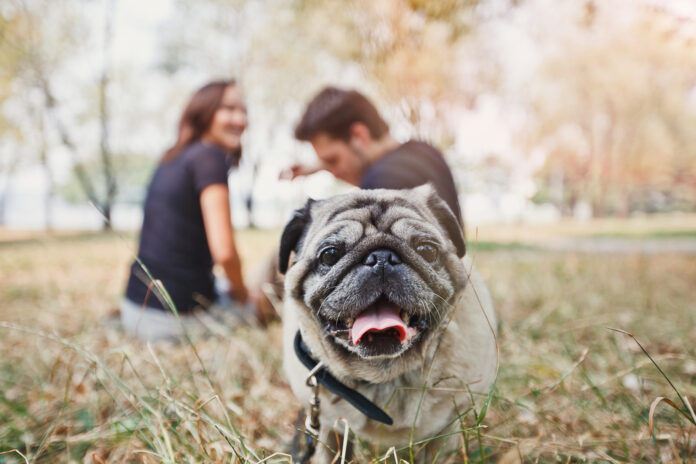 photo-of-pug-dog-in-park-with-owners