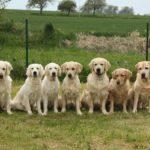 dogs-golden-retriever