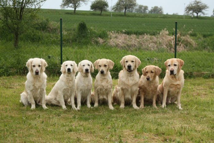 Seven golden retrievers sitting in a line on grass.