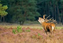 red-deer-burling-hoge-veluwe-park-netherlands-drying-up