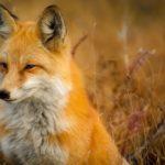 fox-1883658_1920