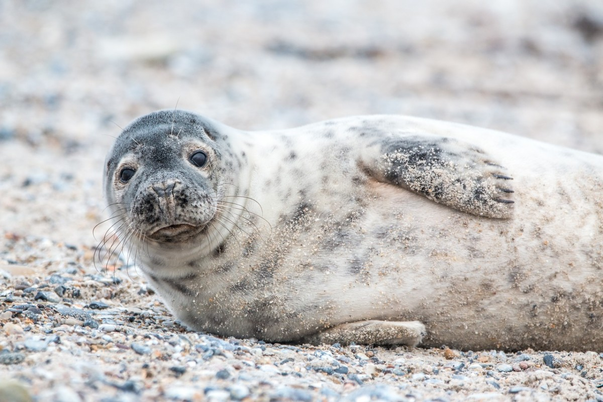 wildlife in the Netherlands seal