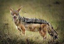 golden-jackal-in-the-Nethelands