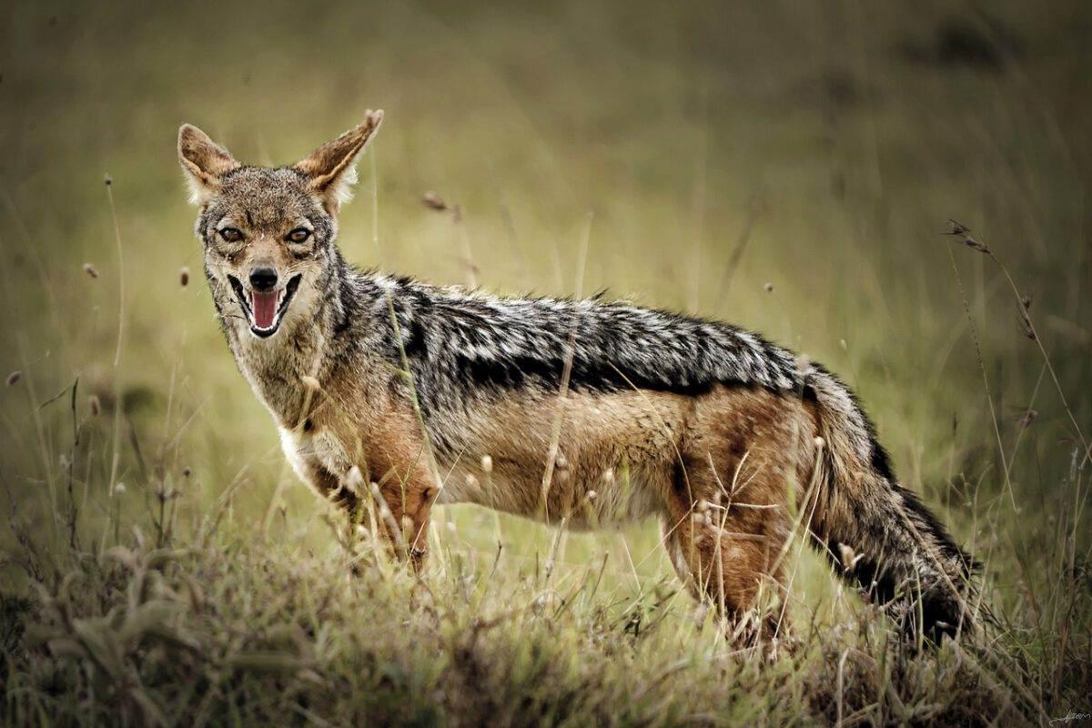 golden-jackal-in-the-Nethelands