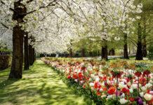 photo-of-tulips-and-cherry-blossoms-at-keukenhof-netherlands
