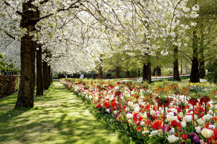 photo-of-tulips-and-cherry-blossoms-at-keukenhof-netherlands