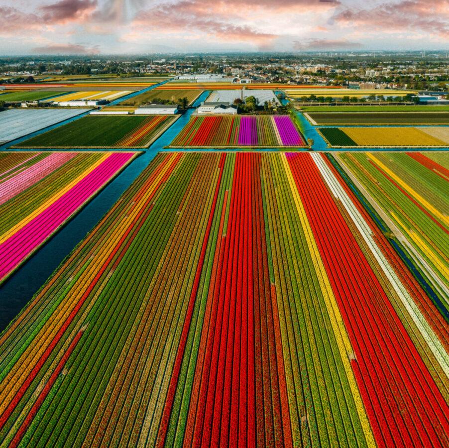 Tulips by Kire Hajba