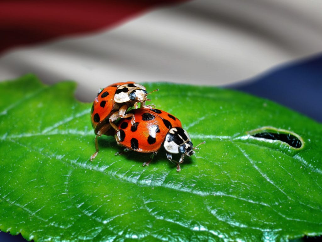 two-ladybirds-having-sex-in-the-Netherlands