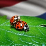 Patriotic ladybugs getting it on in the presence of the Dutch flag