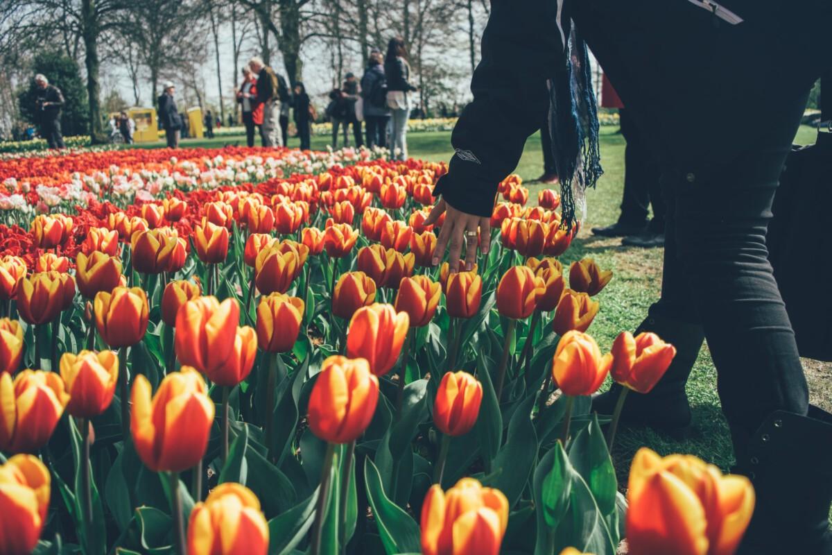 Photo-of-tulips-Keukenhof