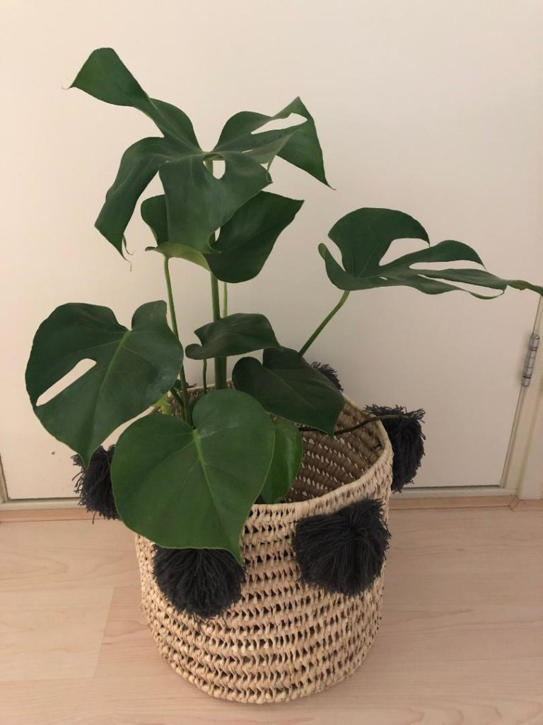 House plants in the Netherlands: a monstera deliciosa in a basket in a Dutch home.