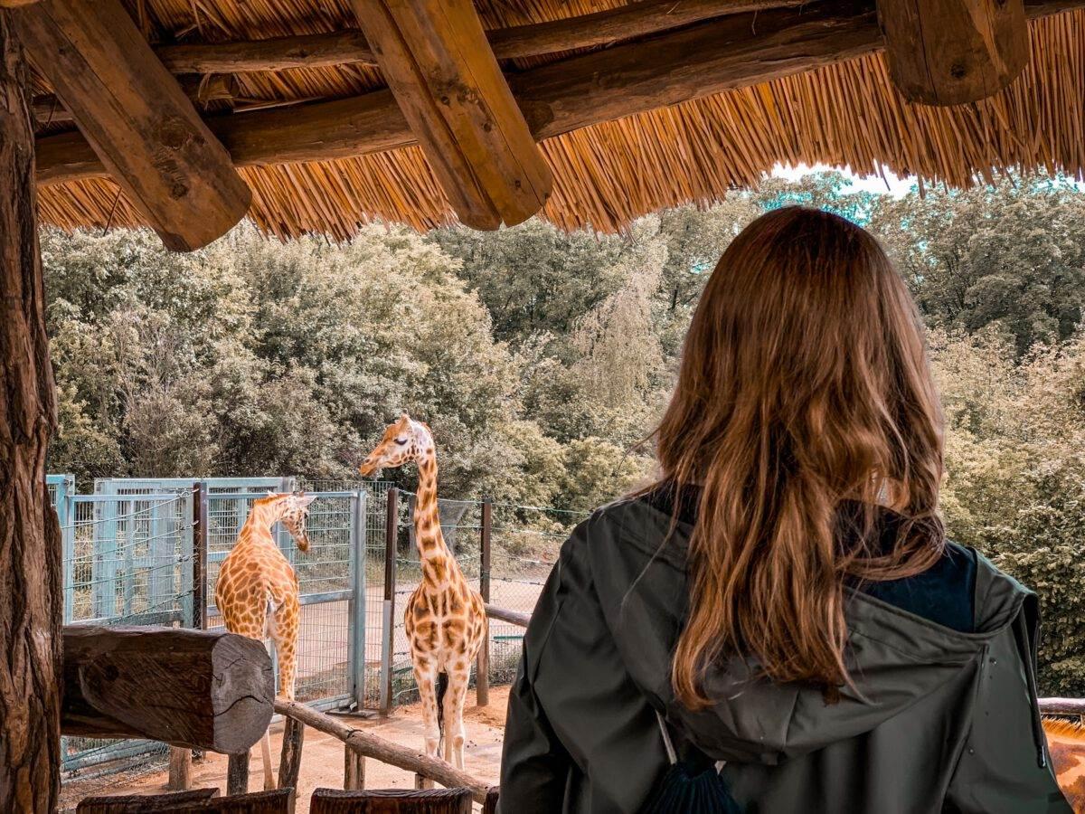 Photo-woman-looking-at-giraffes-in-Dutch-zoo