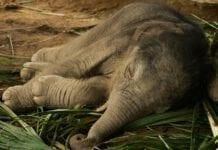 Baby-elephant-sleeping-in-the-Netherlands